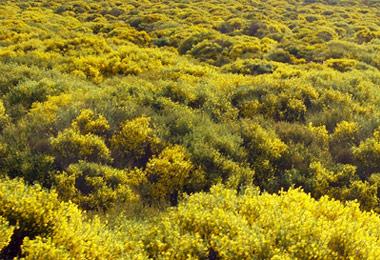 Floración de los piornos en gredos